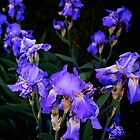 Irises for spring beauty by Nancy Richard