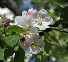 Apple Blossoms I  2014 by prettymeadow