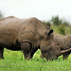 MOTHER & CALF - White Rhinoceros - Ceratotherium sumum -WIT RENOSTER by Magaret Meintjes