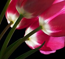 Pink Spring Tulips by ChiantiImages
