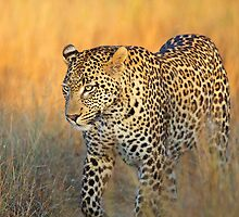 The Vomba young male leopard by jozi1