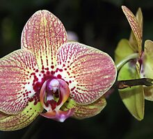 Phalaenopsis by Jo Nijenhuis