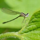 Tiny Blue Damselfly by William Brennan