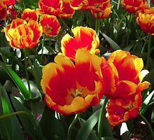 Tulip Time in Australia 1 Photograph by Heatherian by Heatherian