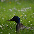 """"""" Mallard Meadow """" by Richard Couchman"""