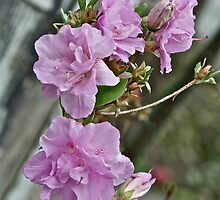 Pink Azalea 1 by Carolyn Clark