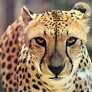Cheetah (Acinonyx jubatus) by Jeff Ore