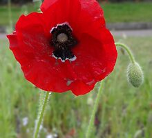 Poppy by Mark.I.F. Jarvis