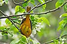 Flippin' The Bird - Baltimore Oriole by MotherNature