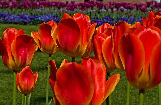 Tulip Field by Marylou Badeaux