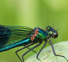 Banded demoiselle   (Calopteryx splendens) by chris2766