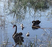 swans and cygnets by ndarby1