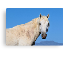 Friendly White Stallion-Close Up Canvas Print