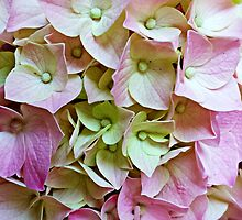 Hydrangeas by Scott Mitchell