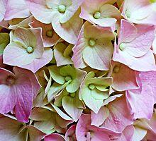 Hydrangeas by Scott Mitchell