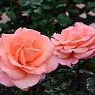 Roses duo in pink by DebbyScott