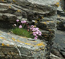 Sea Thrift by Sue Robinson