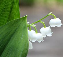 Lily-of-the-valley by the Sidewalk by Kathleen Brant
