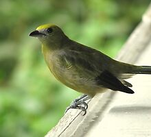 Palm Tanager Profile by hummingbirds