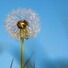 dandelion by Anne Scantlebury
