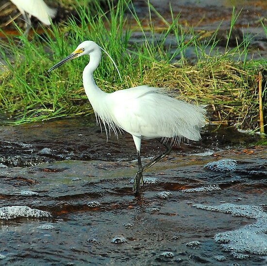 Elegant Egret by Penny Smith