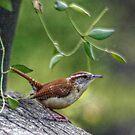 Wren by Ginger  Barritt
