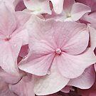 Dusty Pink Hydrangea by Kathilee