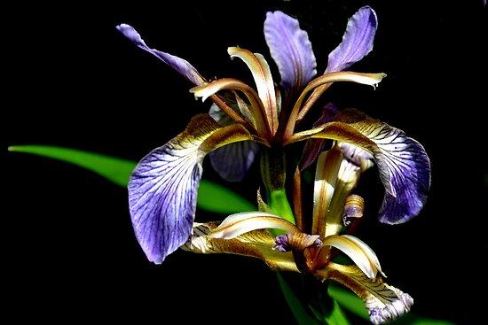 Iris foetidissima , Stinking iris by lynn carter