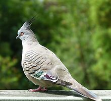 Crested Pigeon by Trish Meyer