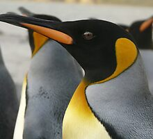 The beautiful King Penguin by Marylou Badeaux