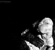 Kiko the Bluenose Pitbull by Byron Croft Photography by ByronCroft