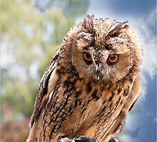 Long Eared Owl by J-images