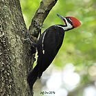 Pileated WoodPecker ( Dryocopus pileatus) by Jeff Ore