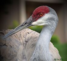 Sandhill Crane (Grus canadensis) by Jeff Ore