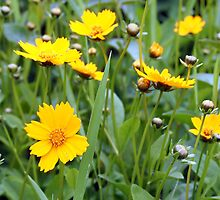 Sunny Yellow Coreopsis by Linda  Makiej Photography