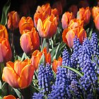 Fiery Tulips and Grape Hyacinths by half4adventure
