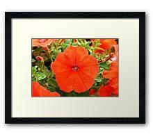 African Sunset  (Petunia Pellets) Framed Print