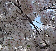 Cherry Blossoms by KelseyM317