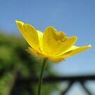 Profile Of A Buttercup  by Barrie Woodward