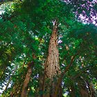 Redwood Skylite by Alec Owen-Evans