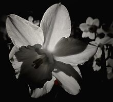 Daffodil in the Dark II by Lesley Collier