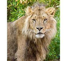 530 lion king Photographic Print