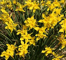 Daffy Daffodils by valleygirl