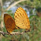 Spotted Buffs - Pentila tropicalis by Lee Jones