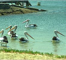 Pelicans by the shore  by ndarby1