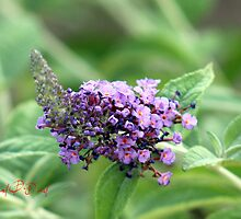 Butterfly-Bush (Buddleja davidii) by rpdavid