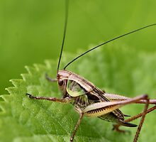 Grass Hopper by Keala