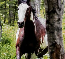 Running Paint Horse through the forest. by Val  Brackenridge
