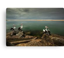 Australian pelicans sunbathing Canvas Print