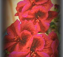 Martha Washington Geranium by kkphoto1